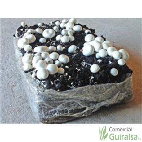 Paca cultivo de champiñones germinados
