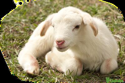 Pienso para corderos y cabritos