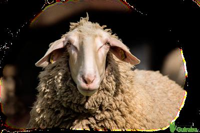 Pienso para ovejas