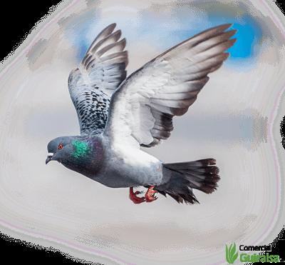 Pienso para palomas